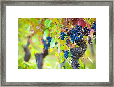 Vineyard Grapes Ready For Harvest Framed Print by Susan Schmitz