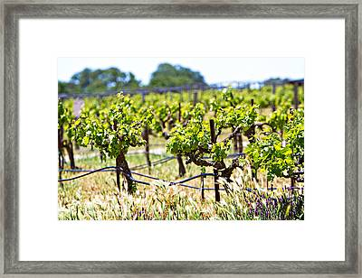 Vineyard With Young Plants Framed Print by Susan  Schmitz
