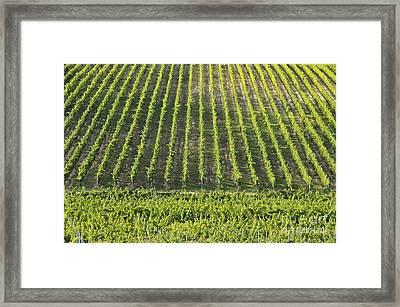 Vineyards In Chianti Region Framed Print by Sami Sarkis