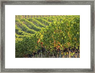 Vineyards In The Rolling Hills Framed Print by Terry Eggers