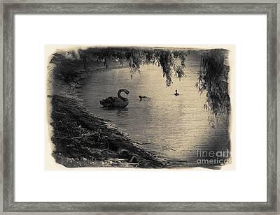 Vintage Views II - Swans And Cygnets Framed Print by Chris Armytage