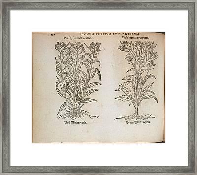 Viola Hyemalis Framed Print by British Library