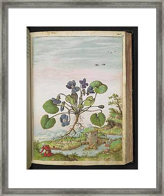 Violet (viola Odorata) Framed Print by British Library