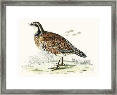 Virginian Partridge Framed Print by Beverley R Morris