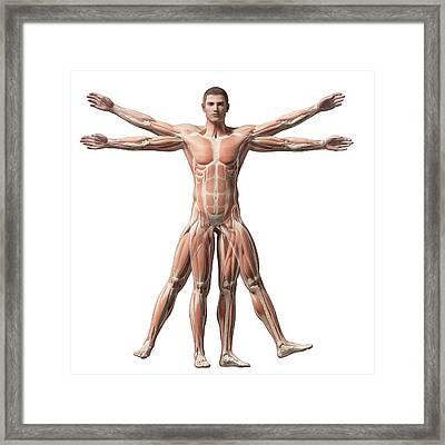 Vitruvian Man Muscles Framed Print by Sebastian Kaulitzki