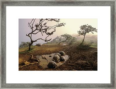 Volcan Alcedo Giant Tortoises Wallowing Framed Print by D. Parer & E. Parer-Cook
