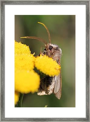 Voluble Dart Moth Framed Print by Doris Potter