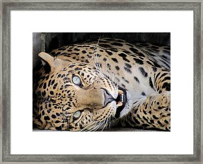 Voodoo The Leopard Framed Print by Keith Stokes