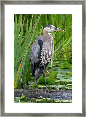 Wa, Juanita Bay Wetland, Great Blue Framed Print by Jamie and Judy Wild