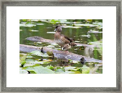 Wa, Juanita Bay Wetland, Wood Ducks Framed Print by Jamie and Judy Wild