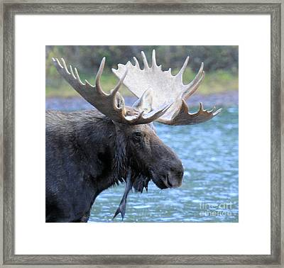 Wading For Lunch Framed Print by Adam Jewell