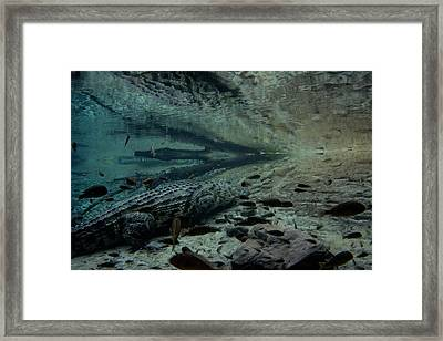 Waiting Gator Framed Print by Kevin Cable