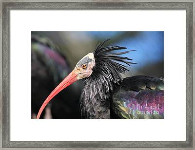 Waldrapp Ibis 5d27038 Framed Print by Wingsdomain Art and Photography