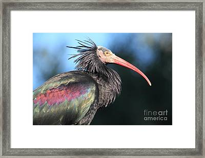Waldrapp Ibis 5d27049 Framed Print by Wingsdomain Art and Photography