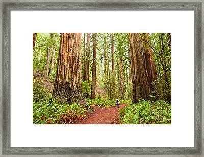 Walk Among Giants - Massive Redwoods Sequoia Sempervirens In Redwoods National Park. Framed Print by Jamie Pham