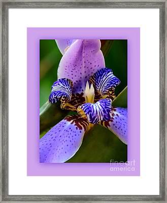 Walking Iris With Purple Border Framed Print by Carol Groenen