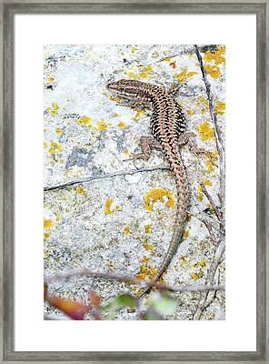 Wall Lizard Framed Print by Colin Varndell