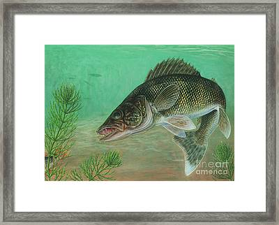Walleye Sander Vitreus Framed Print by Carlyn Iverson
