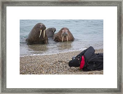 Walruses Photographed By Tourists Framed Print by Peter Cairns