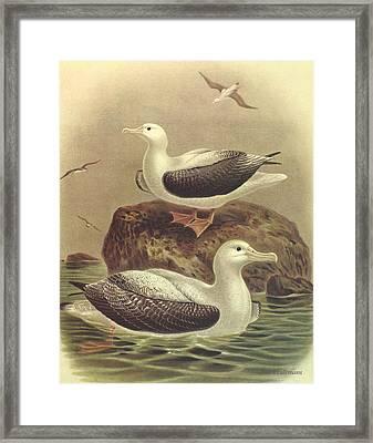 Wandering Albatross Framed Print by J G Keulemans