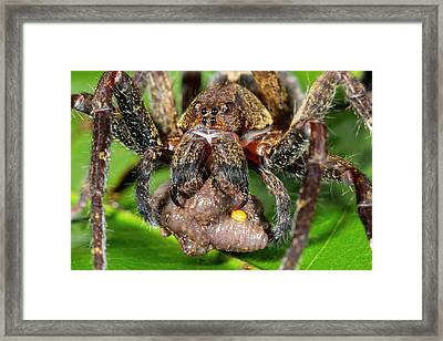 Wandering Spider Feeding Framed Print by Dr Morley Read
