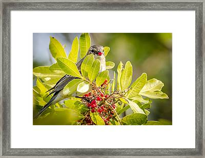 Warbler And Its Red Hot Berry Framed Print by Debra Martz