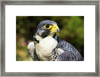Wary Eye Of Peregrine Falcon Framed Print by Piperanne Worcester