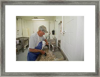 Washing Processed Oysters Framed Print by Jim West