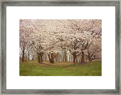 Washington Dc Cherry Blossoms Framed Print by Kim Hojnacki