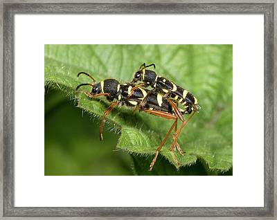 Wasp Beetles Framed Print by Nigel Downer