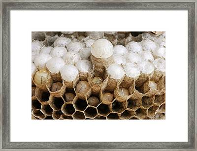 Wasp Larvae And Queen Cell Framed Print by Cordelia Molloy