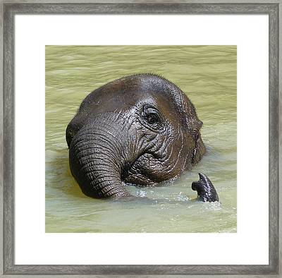 Watch My Trunk - Young Asian Elephant Framed Print by Margaret Saheed