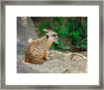 Watchful Meerkat Framed Print by Jon Woodhams