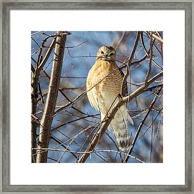 Watchin You Like A Hawk Square Framed Print by Bill Wakeley