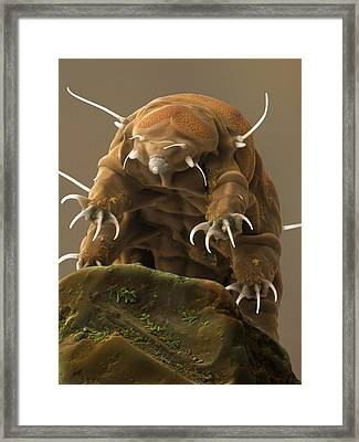Water Bear Or Tardigrade Framed Print by Science Photo Library