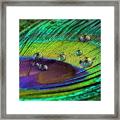 Water Droplets On Peacock Feather Framed Print by Science Photo Library