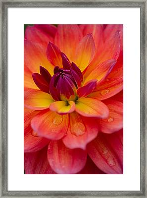 Water Drops And Flower Petals Framed Print by Kathleen Odenthal