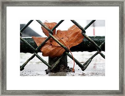 Water Leaf Framed Print by Mark Ashkenazi