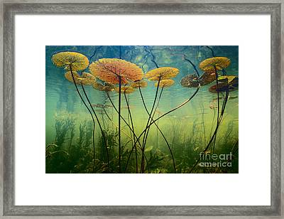 Water Lilies Framed Print by Frans Lanting MINT Images
