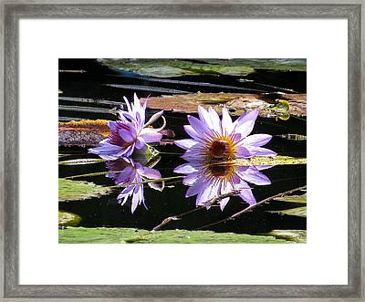 Water Lilies On The Sun Framed Print by Zina Stromberg