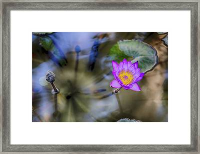 Water Lily 3 Framed Print by Scott Campbell