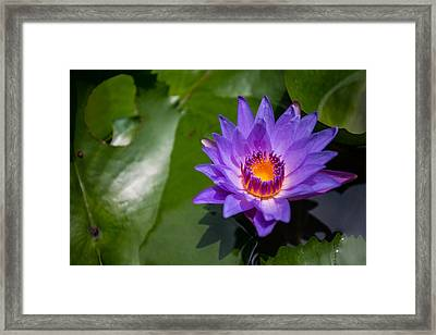 Water Lily Framed Print by Mike Lee