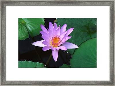 Water Lily Framed Print by Nigel Downer