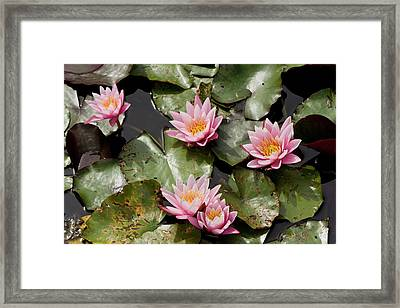 Water Lily (nymphaea 'pink Sensation') Framed Print by Bob Gibbons