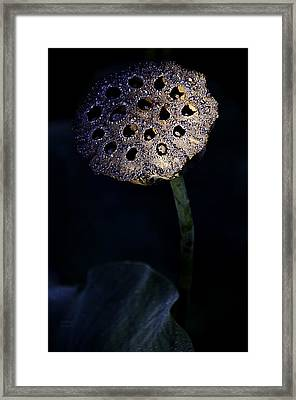 Water Lily Seed Pod Framed Print by Julie Palencia
