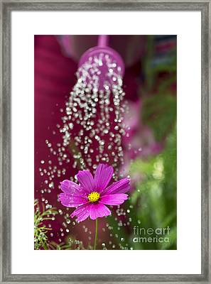 Watering The Cosmos Framed Print by Tim Gainey