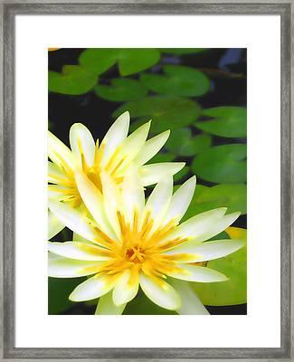 Waterlilies In Pond Framed Print by Amber Nissen