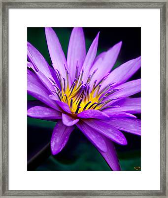 Waterlily #23 Framed Print by Chris Lord