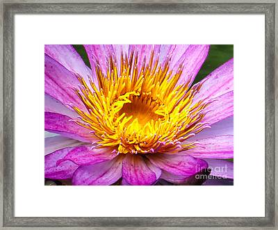 Waterlily Framed Print by Zina Stromberg