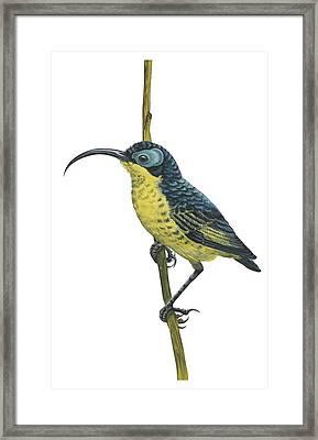 Wattled False Sunbird Framed Print by Anonymous